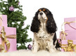Cavalier King Charles sitting in front of Christmas decorations