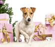 Jack Russell Terrier standing in front of Christmas decorations