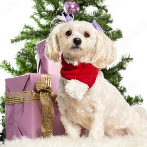 Maltese sitting and wearing a Christmas scarf