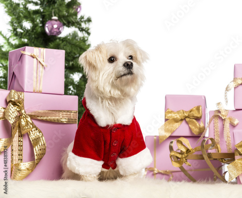 Maltese sitting and wearing a Christmas suit