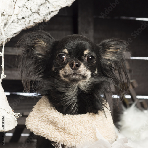 Close up of a Chihuahua in front of Christmas nativity scene