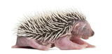 Baby Hedgehog, 4 days old, against white background