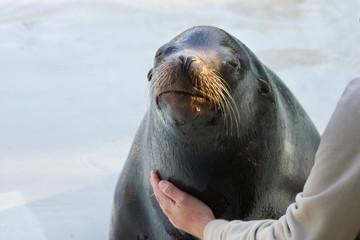 California sea lion (Zalophus californianus) training