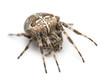 European garden spider, Araneus diadematus
