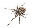 Top view of an European garden spider, Araneus diadematus,