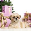 Shih Tzu lying in front of Christmas decorations