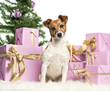 Jack Russell Terrier sitting in front of Christmas decorations