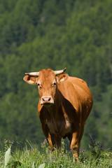 cow in a prairie