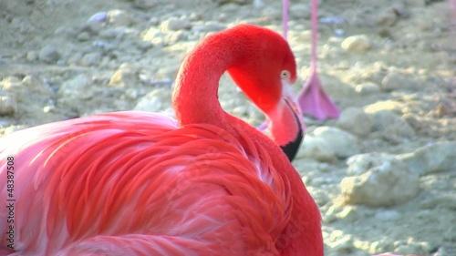 Fototapeten,flamingo,vögel,close-up,natur