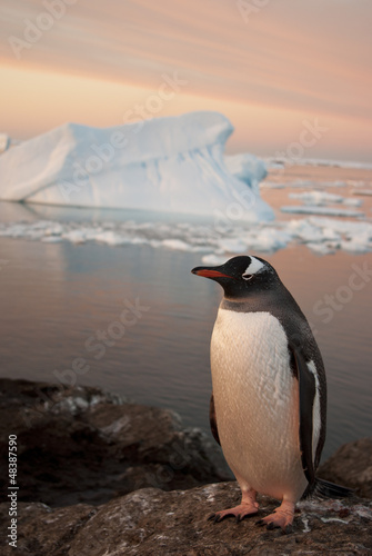 Gentoo penguin at sunset.