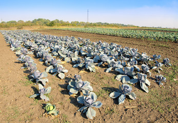 Blue Cabbage field