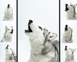 siberian husky  sings