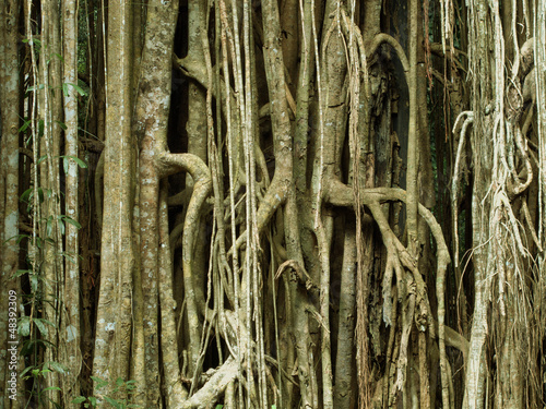 Strangler Fig, Curtain Fig
