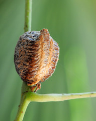 Mantis egg case or Ootheca laid on the vine (macro)