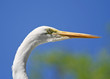 Egret Head Shot