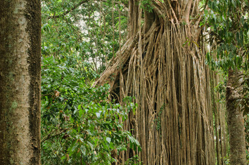 Strangler Fig (curtain fig) near Yungaburra