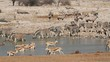 Zebra, springbok and gemsbok at a waterhole, Etosha N/P