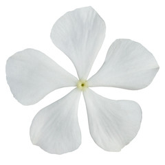 White Periwinkle Flower Isolated on White