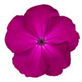 Purple Pinks Dianthus wild flower Isoalted on white