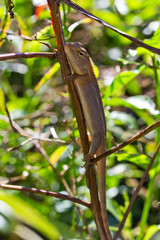 thai chameleon in nature