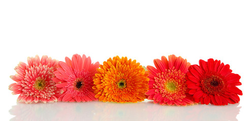 beautiful gerbera flowers isolated on white