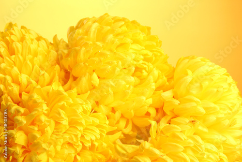 bright chrysanthemums flowers, on yellow background