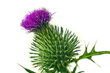 Milk thistle flower head isolated on white.