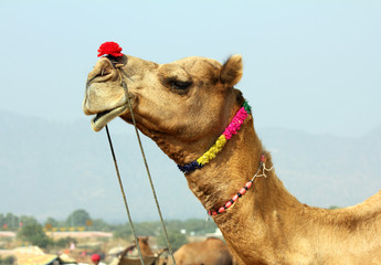 camel during festival in Pushkar