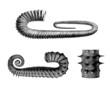 Prehistory - Fossil : Mollusc (Cretaceus)