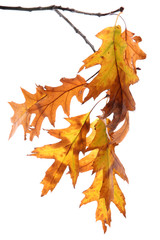 twig of oak with autumn yellow leaves, isolated on white