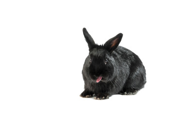 black rabbit isolated on white background sticking his tongue ou