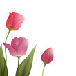 Vector Illustration of Colorful Tulips