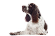 springer spaniel dog lying down