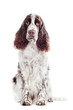 springer spaniel dog portrait isolated