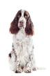 springer spaniel dog portrait isolated
