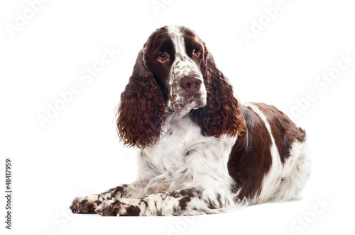 springer spaniel dog isolated
