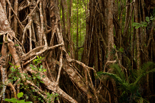 Strangler Fig (cathedral fig) near Yungaburra