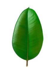 Gummibaumblatt