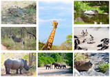 African wild animals collage, fauna in Kruger Park, South Africa poster