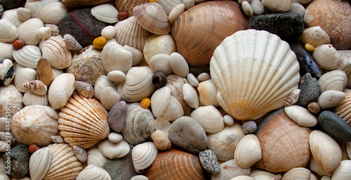 Sea Shells Seashells! - scallop and assorted shells / pebbles - 48425191