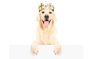 Golden retriever dog wearing crown and standing on a panel