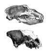 Skulls - Crânes - Schädel