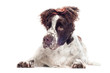 springer spaniel with funny hair