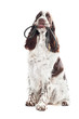 springer spaniel dog holding a leash in its mouth