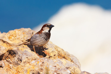 Passer domesticus (House Sparrow)