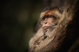 Male Barbary Macaque.