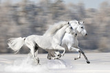 Two white horses in winter run gallop