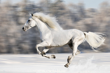 White horse runs gallop in winter, blur motion