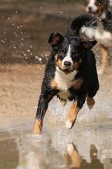 Appenzeller springt ins Wasser