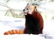 Red Panda enjoying Snow
